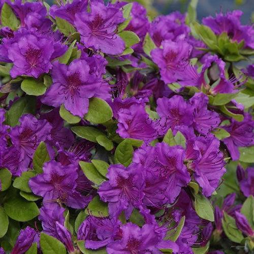 Фиолетовая японская азалия