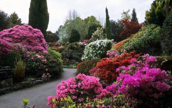 Цветение азалии в саду