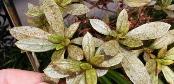 болезни листьев азалии