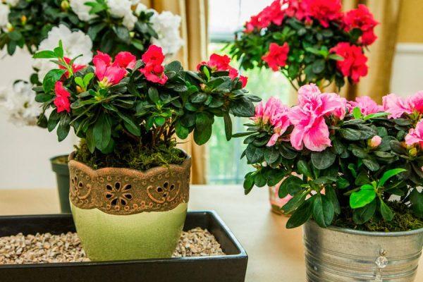 цветение азалии из магазина дома