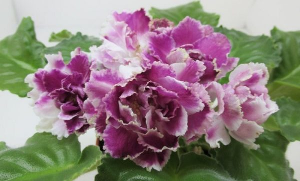 ледяная роза фиалка выращиваем дома