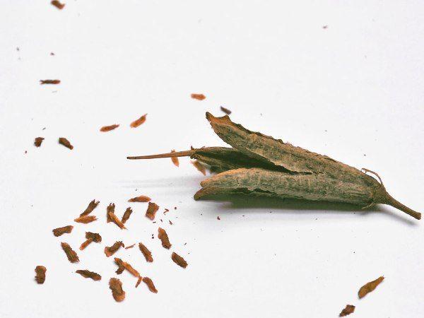 семена азалии посадка и размножение
