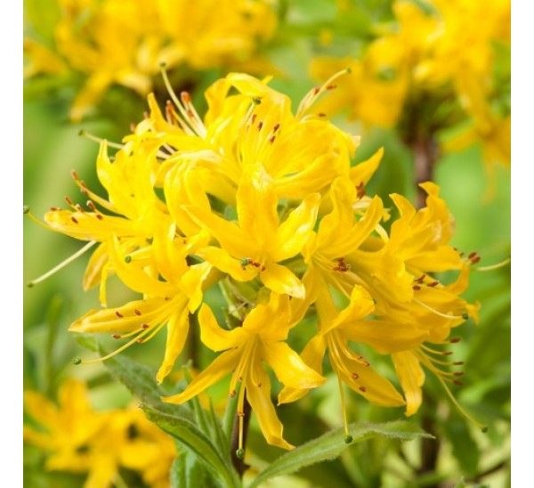 Рододендрон желтый (Азалия Понтийская)