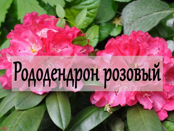 Рододендрон-розовый
