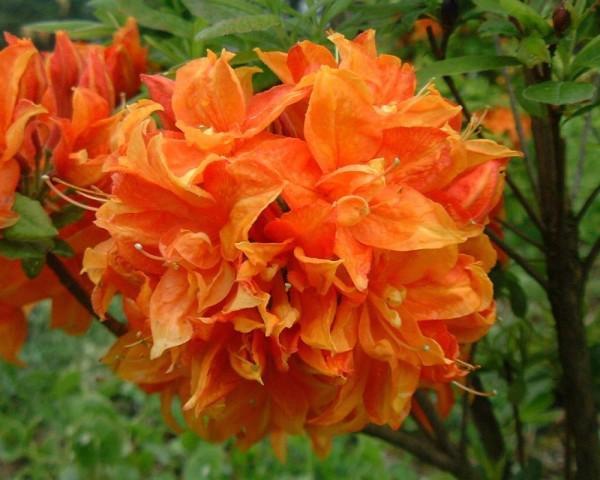 рододендрон мандарин азалия
