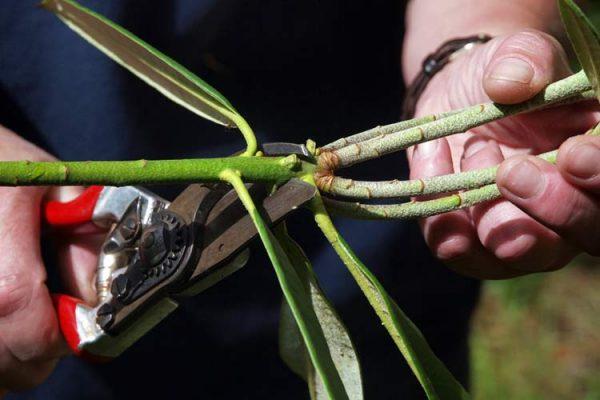 обрезка рододендрона розового