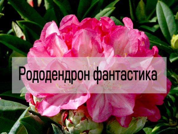 Рододендрон фантастика гибридный