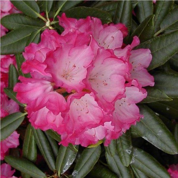 Рододендрон фантастика цветение и полив