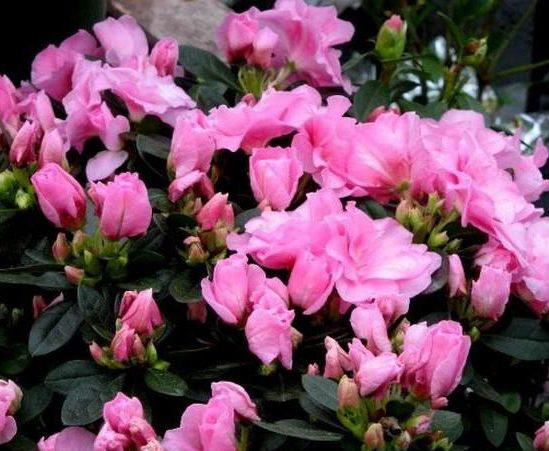 Азалия индика розовая