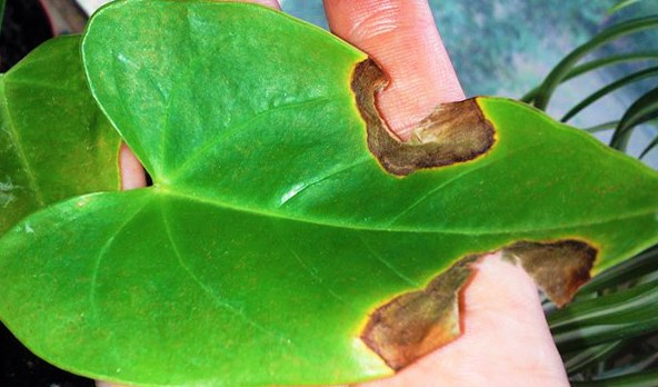 Пятна на листьях антуриума болезни